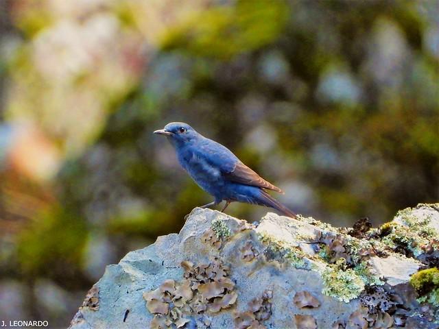 MELRO-AZUL  ( monticola solitarius )