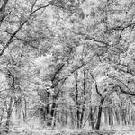 On The Oak Savanna