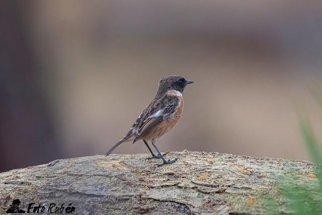 Tarabilla- Common stonechat - Saxicola rubecula