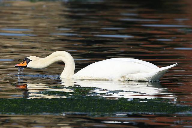 Swan at Fareham Creek