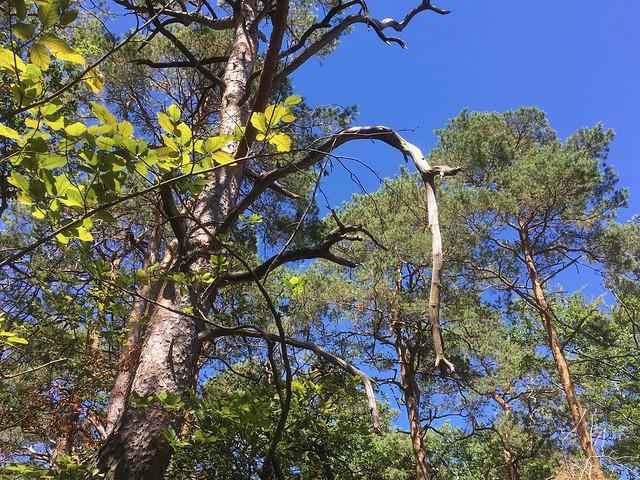 Forêt Domaniale de Sickingen / Lembach / Bas-Rhin / 29 juillet 2020