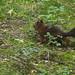 Eichhörnchen (Lat. Sciurus vulgaris)