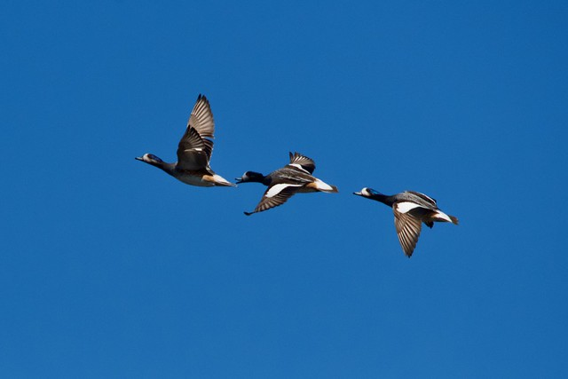 Three Chiloe Wigeons flying over the Llanquihue Wetlands, Llanquihue, Los Lagos Region (southern Chile) yesterday.