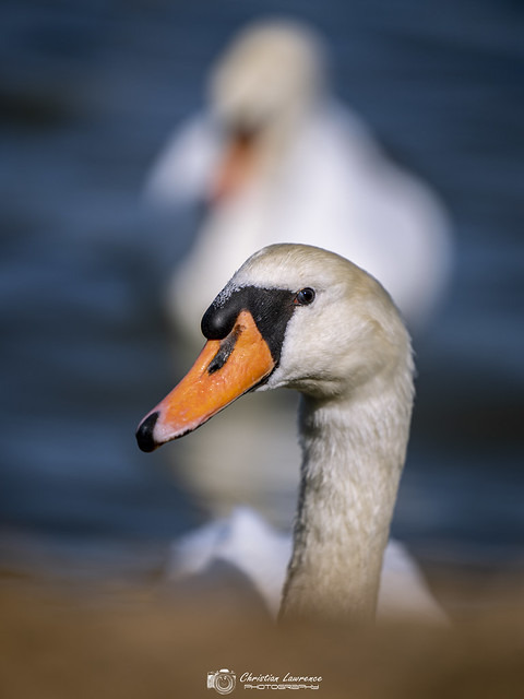 Swans of the Western Yar