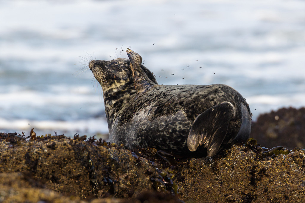 A harbor seal shoos files away with a flipper at Yaquina Head Outstanding Natural Area in Newport, Oregon on October 8, 2017. Original: _L1A0434.cr2