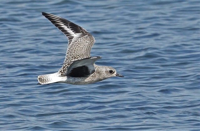 Black-bellied Plover, Tommy Thompson Park, Toronto.