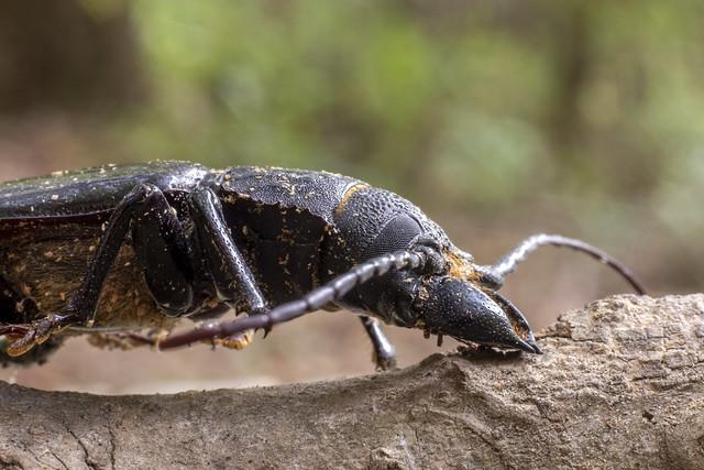 Mallodon dasystomus, Elsie A. Holmes Nature Park, Catoosa County, Georgia 2