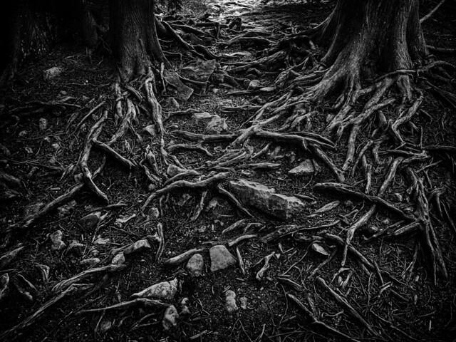 Tapestry of Cedar Roots