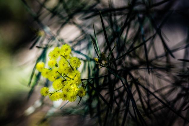 Acacia in Spring In Sydney
