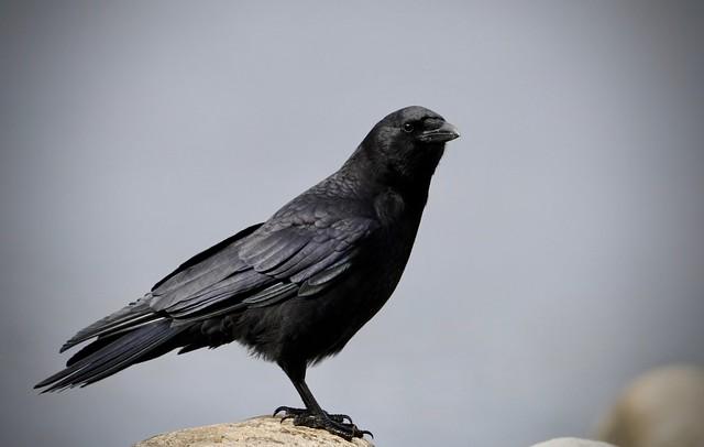 Common Raven #2