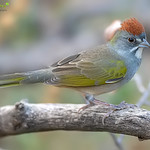 Green-Tailed Towhee ♂