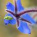 Little Green Bug on a Borage Flower, 5.8.18