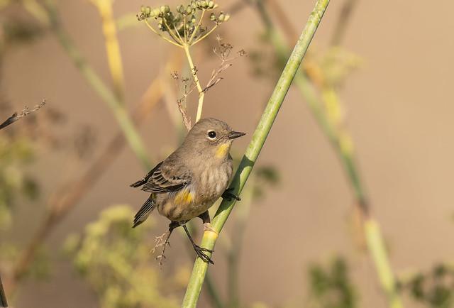 FOS Yellow-rumped Warbler