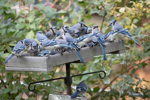 At least 19 Blue Jays plus one on the squirrel baffle