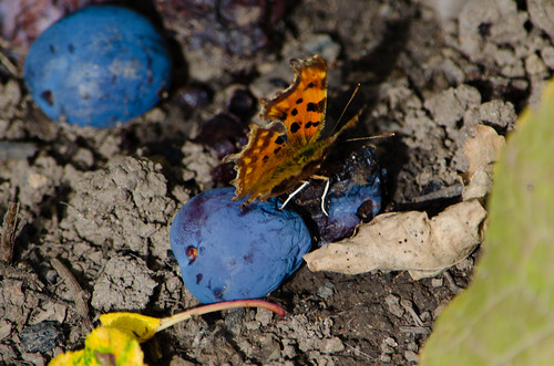 Gorging on damson, comma butterfly