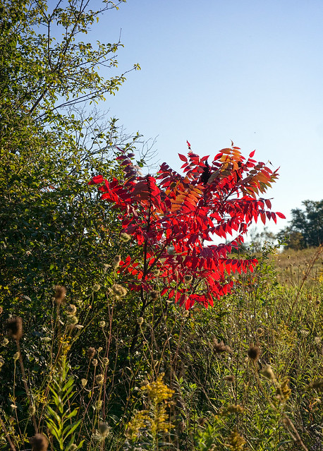 Sumac in the late afternoon light