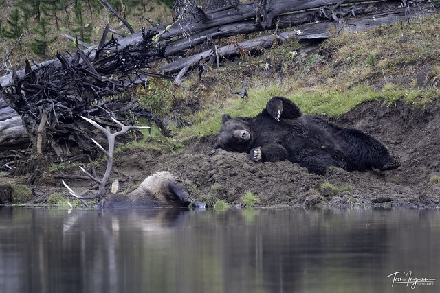 Male Grizzly relaxing after his feast on bull elk kill