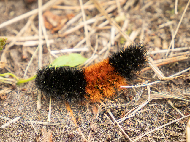 Banded Wooly Bear caterpillar