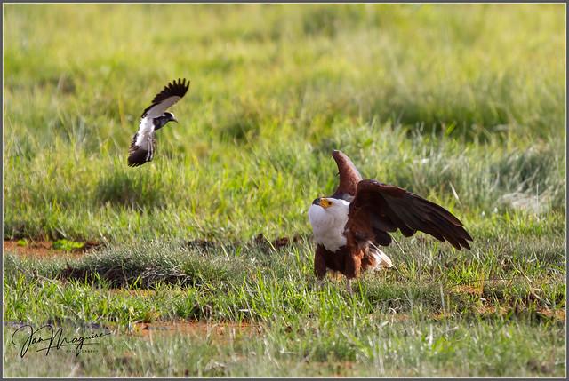 Plover vs Fish Eagle 4867