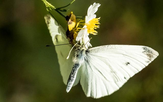 Ambush Bug 1, Cabbage White 0