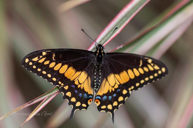 Klein Costa Rica vlindertuin 461