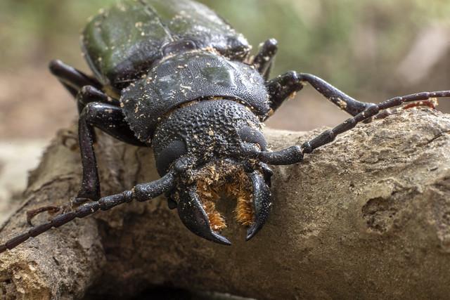 Mallodon dasystomus, Elsie A. Holmes Nature Park, Catoosa County, Georgia 1