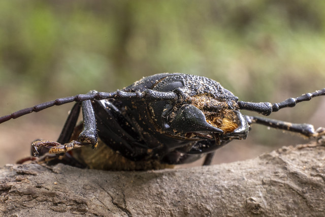 Mallodon dasystomus, Elsie A. Holmes Nature Park, Catoosa County, Georgia 3