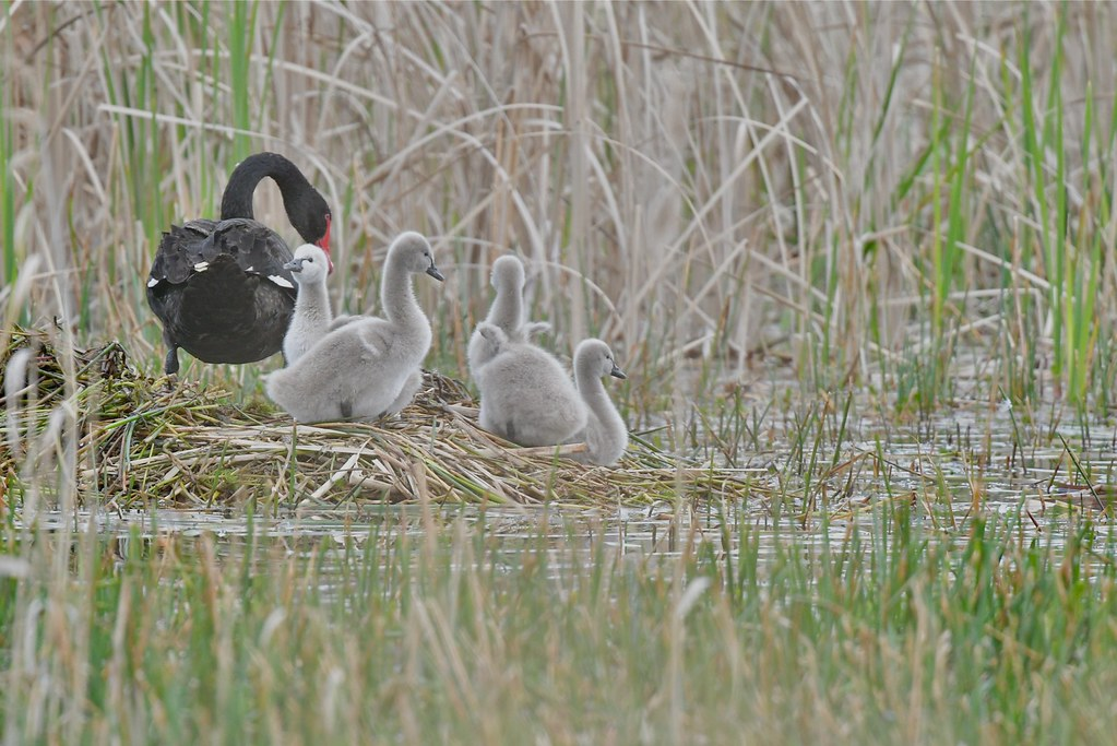 Black Swan Family ( my little wings  will fly )