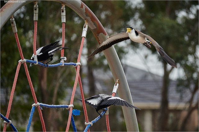 Australian Magpie, Masked Lapwing: Klingons on the Starboard Bow, Jim