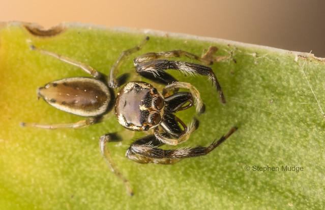 Opisthoncus sp (
