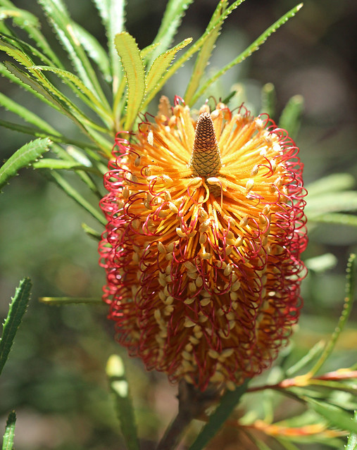 Hill Banksia