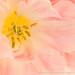 Tulip, 4.4.17