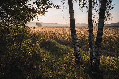 mazovia poland trees forest woods flora morning sunrise summer landscape nature outdoors