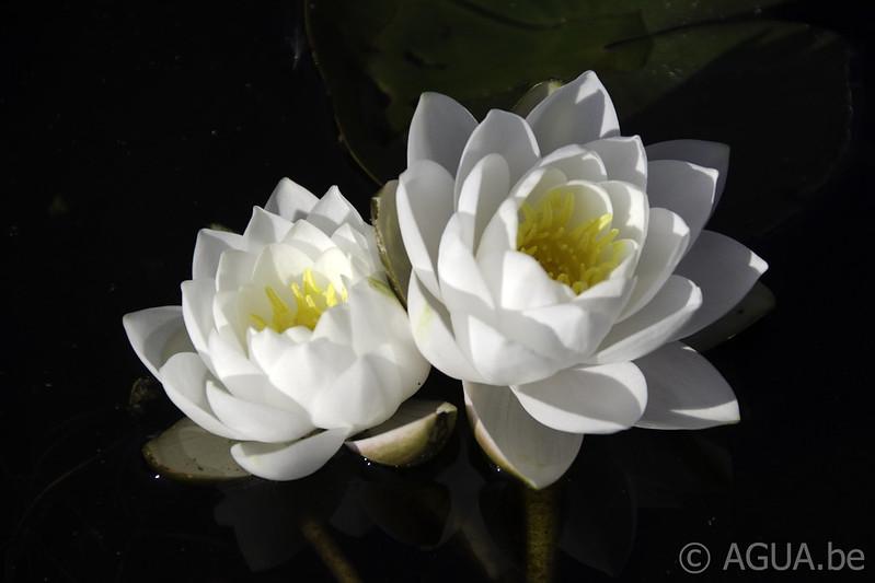 Waterlelie Siam Jasmine / Nymphaea Siam Jasmine