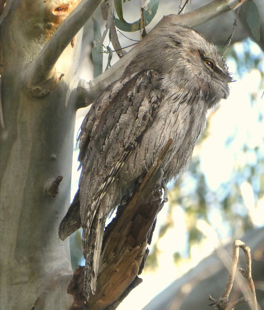 Tawny Frogmouth this afternoon