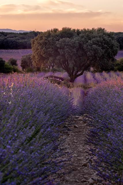 Lavender delight