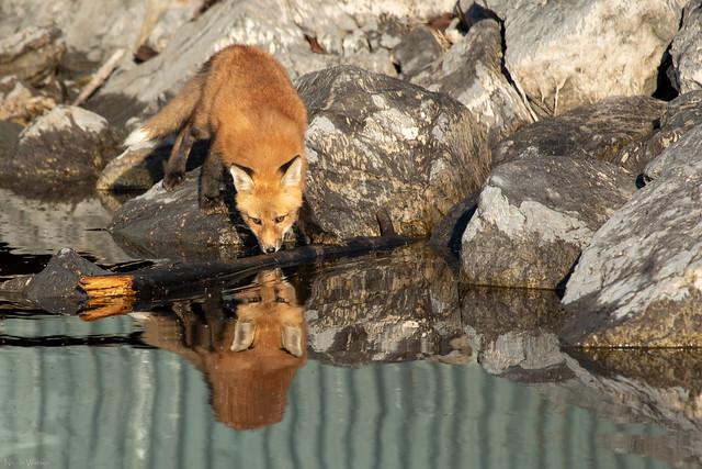 Urban Red Fox kit