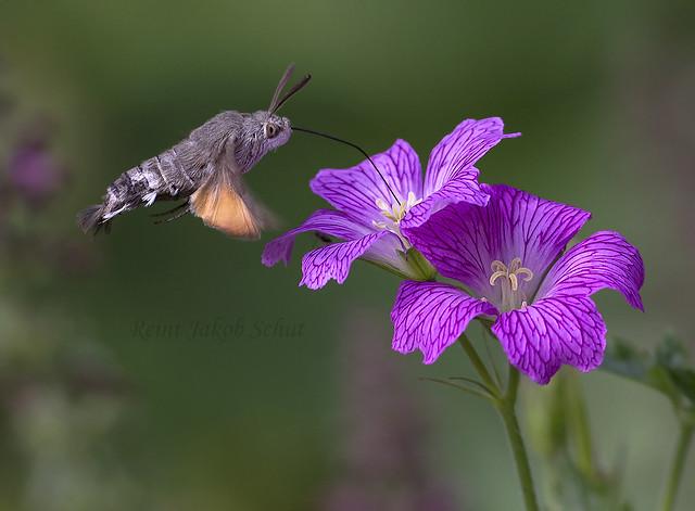 Kolibrievlinder -  Hummingbird hawk-moth - Macroglossum stellatarum