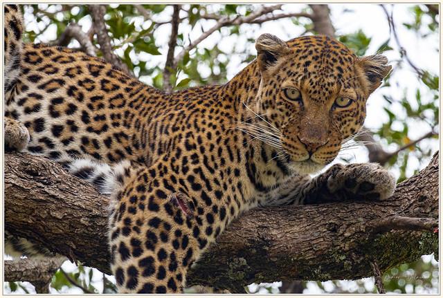 Léopard dans un arbre