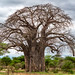Baobab Tree by Robert J Gould