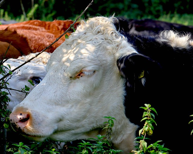 Chilled-out cow !!