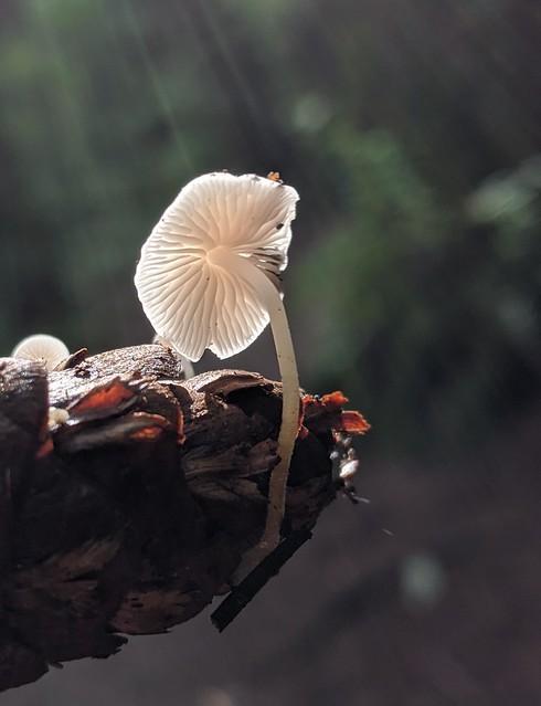 Strobilurus trullisatus