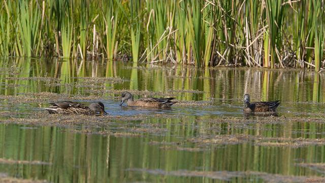 Fuligule à collier, Ring-necked Duck - Marais-Léon-Provancher, PQ, Canada - 9108
