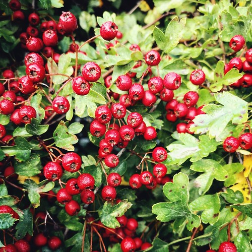 An image of ripe hawthorn berries.
