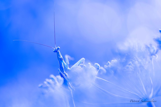 Mante religieuse-Mantis religion