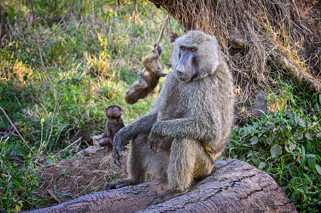 Father Baboon watches over his playful children at Lake Nakuru National Park, Kenya, East Africa