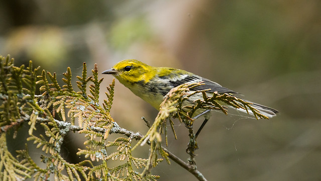 0P7A7009  Black-throated Green Warbler, Canada