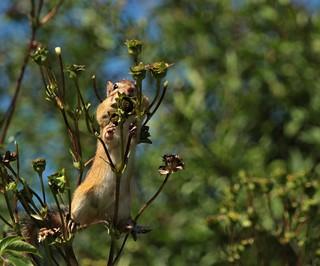Chipmunk on Natural Stilts