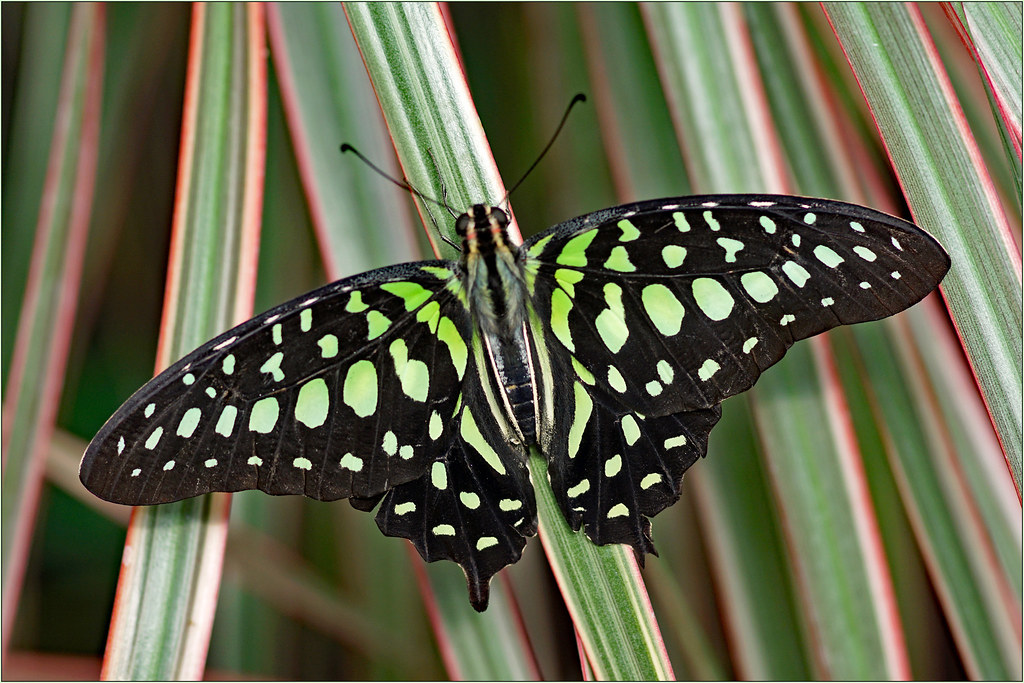 Tailed jay, too green triangle
