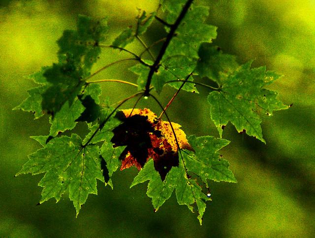 Backlit  Fall Color And Rain